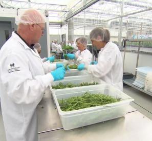 Le cannabis, une spécialité québécoise?